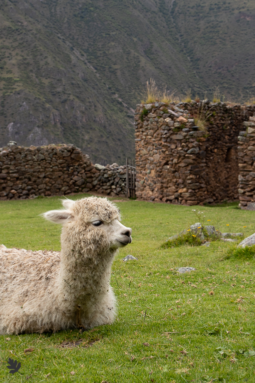 Alpaca-Pumamarca