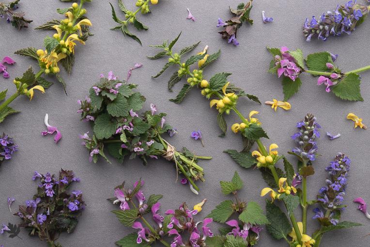 Next-Level Wissen für den Kräutersammler: Pflanzenfamilien (Lamiaceae)