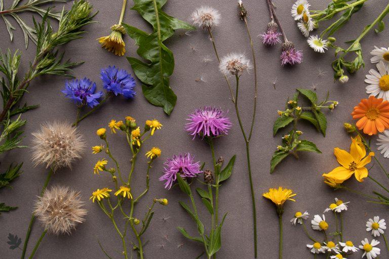 Pflanzenfamilien: Asteraceae (Korbblütler)