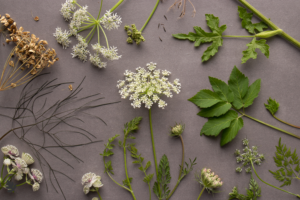 Pflanzenfamilien: Apiaceae (Doldenblütler)