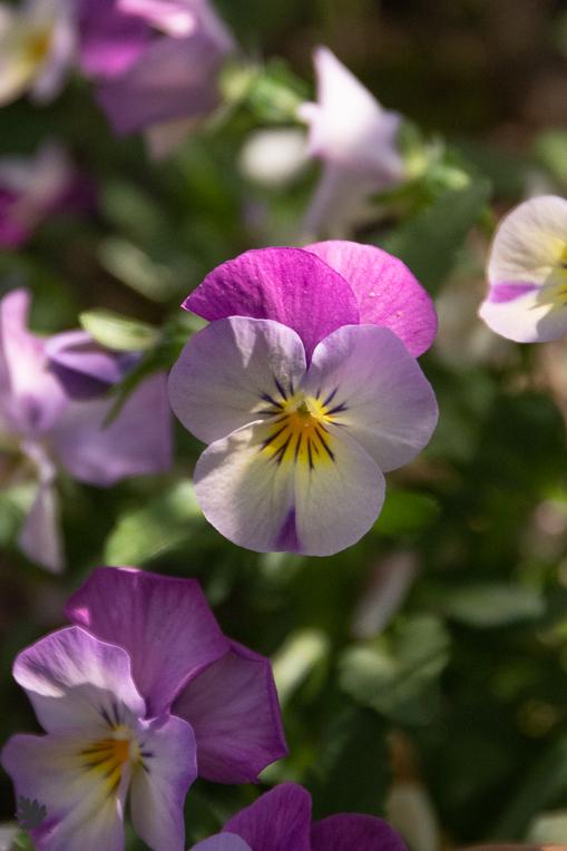 Bluete-Garten-Stiefmuetterchen
