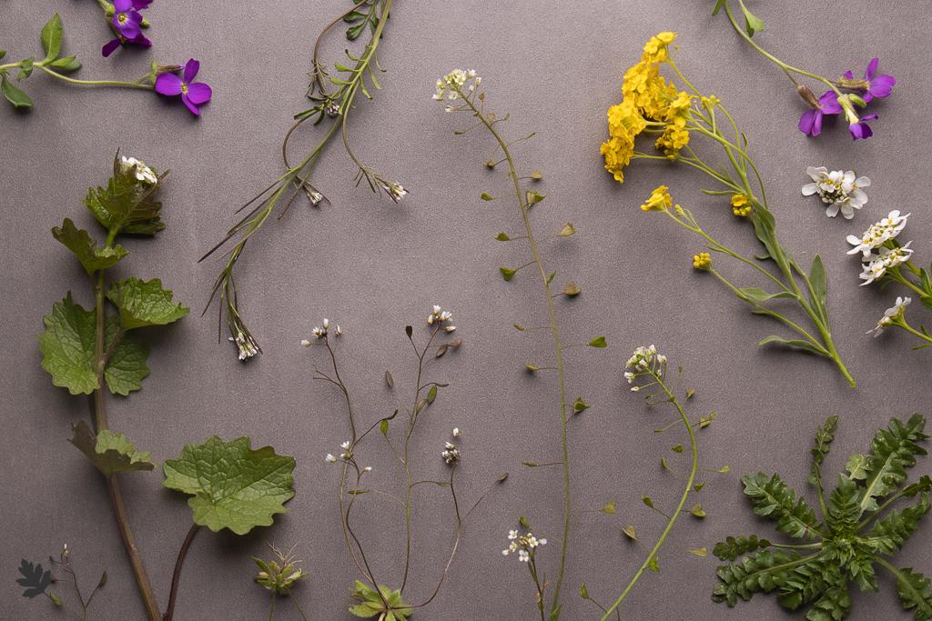 Pflanzenfamilien: Brassicaceae (Kreuzblütler)